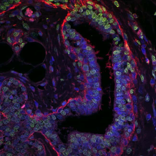 FFPE mouse mammary tissue mounted with Prolong Glass and imaged with confocal microscope